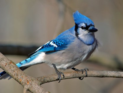 geai-bleu-oiseaux